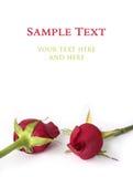 Twee rode rozen die op wit worden geïsoleerda Royalty-vrije Stock Afbeeldingen