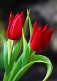 Twee rode tulpen Royalty-vrije Stock Foto's