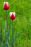 Twee rode tulpenbloemen royalty-vrije stock afbeeldingen