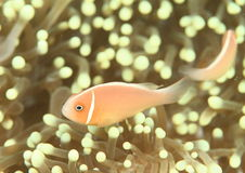 Twee roze anemonfishes royalty-vrije stock afbeelding