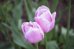 Twee Roze bloemen Stock Foto