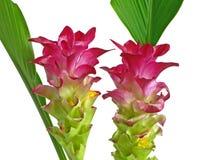 Twee roze bloemen van de ?Kurkuma? royalty-vrije stock afbeelding