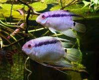 Twee roze en purpere vissen stock foto