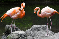 Twee roze flamingo's Royalty-vrije Stock Fotografie