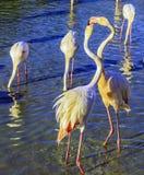 Twee roze flamingo's communiceren met elkaar Stock Afbeeldingen