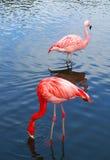 Twee roze flamingovogels Stock Fotografie
