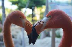 Twee roze flamingovogels Stock Afbeeldingen