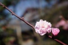 Twee Roze Japanse Plum Blossoms Stock Foto's