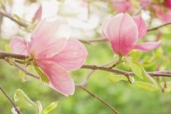 Twee Roze Magnoliabloemen Stock Foto