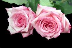 Twee Roze Rozen Stock Afbeelding