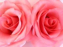 Twee roze rozenmacro Stock Foto's
