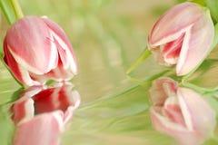 Twee roze tulpen met bezinning Stock Foto's