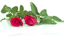 Twee rozen Stock Foto