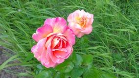 Twee Rozen Royalty-vrije Stock Foto's