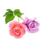 Twee rozen zijn op een witte achtergrond Stock Foto's