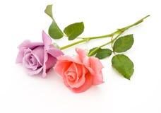 Twee rozen zijn op een witte achtergrond Royalty-vrije Stock Foto's