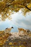 Twee Russische wolfshonden Stock Afbeeldingen