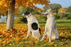 Twee Russische wolfshonden Stock Foto's
