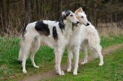Twee Russische Wolfshonden Royalty-vrije Stock Foto