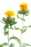 Twee saffloerbloemen Royalty-vrije Stock Foto's