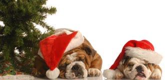 Twee santahonden onder boom stock fotografie
