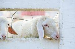 Twee schapen Royalty-vrije Stock Fotografie