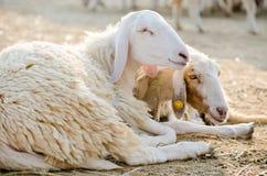Twee schapen Royalty-vrije Stock Foto