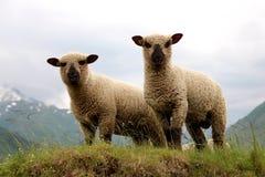 Twee schapen Stock Fotografie