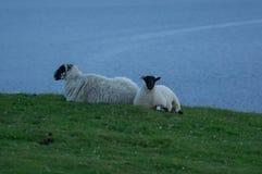 Twee schapen Stock Foto's
