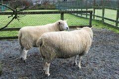 Twee schapen in de pennen royalty-vrije stock fotografie