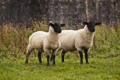 Twee schapen die bij iets staren Stock Foto's