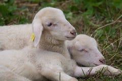 Twee schapen die in de weide liggen Stock Afbeelding