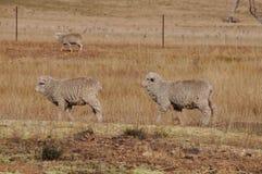 Twee schapen die in een rij in een droge landbouwbedrijfpaddock lopen Stock Afbeeldingen