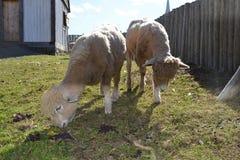 Twee schapen die in een yard weiden royalty-vrije stock afbeelding