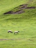 Twee schapen die in weide weiden. Stock Foto