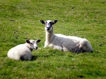 Twee schapen op gebied Stock Afbeeldingen