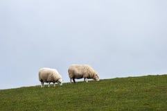 Twee schapen op heuvel Stock Foto's