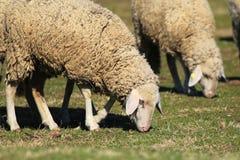 Twee schapen weiden op weiland royalty-vrije stock foto's