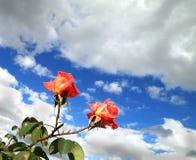 Twee scharlaken rozen Royalty-vrije Stock Foto's