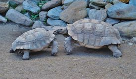 Twee Schildpadden bij het Park Royalty-vrije Stock Fotografie
