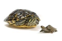 Twee schildpadden Royalty-vrije Stock Afbeelding