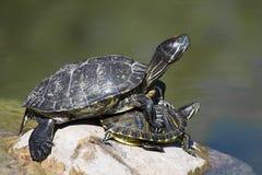 Twee schildpadden Stock Fotografie