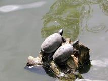 Twee schildpadden Royalty-vrije Stock Fotografie