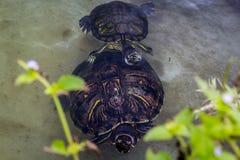 Twee schildpadden Royalty-vrije Stock Foto's