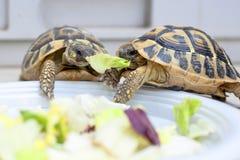Twee schildpadden in de concurrentie Stock Foto
