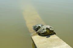 Twee schildpadden dichtbij water Stock Foto's