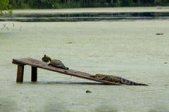 Twee schildpadden en een gator royalty-vrije stock fotografie