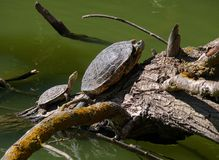 Twee schildpadden het zonnebaden Stock Fotografie