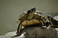 Twee schildpadden in liefde Stock Foto's