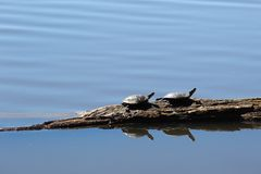 Twee schildpadden op een logboek Royalty-vrije Stock Foto's